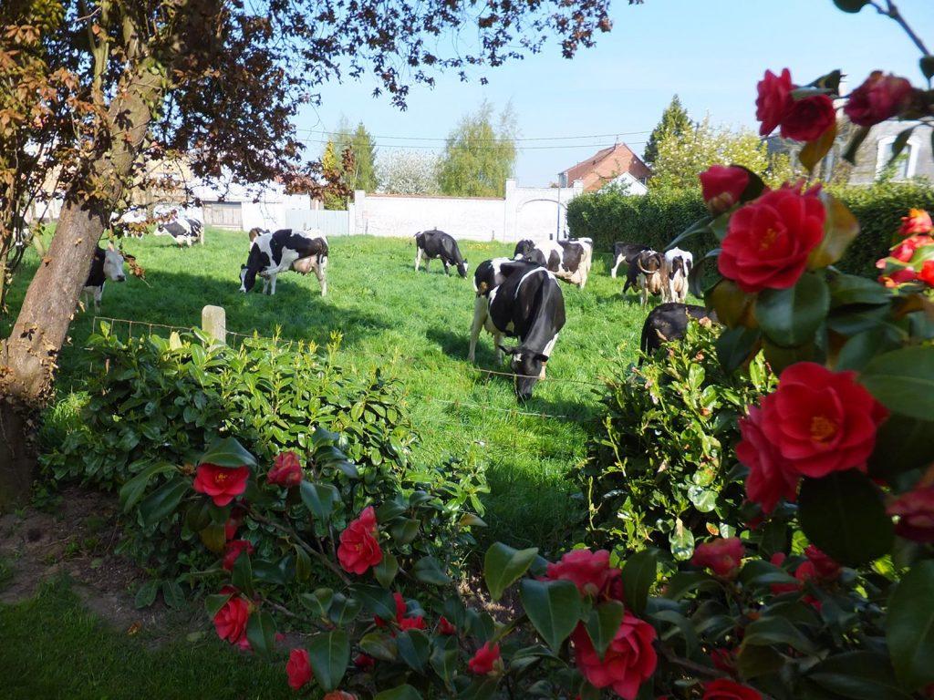 vache ferme duthoit lille